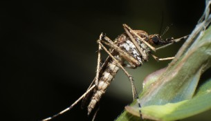 apotheken-wissen.de: West-Nil-Fieber wird von Stechmücken übertragen