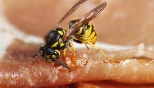 Wespen vertreiben: ein manchmal nicht leichtes Unterfangen