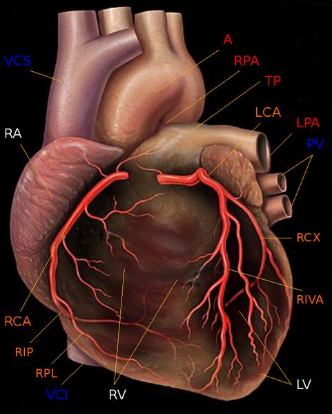 Was Ist Ein Herzinfarkt Die Entstehung Und Ursachen