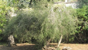 Anwendung von Teebaumöl: Teebaum in Australien