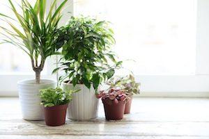 Zimmerpflanzen Allergien 3 - apotheken-wissen.de