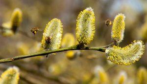 Blüten der Weidenkätzchen - apotheken-wissen.de