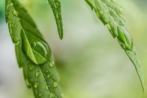 Cannabis Blätter - apotheken-wissen.de