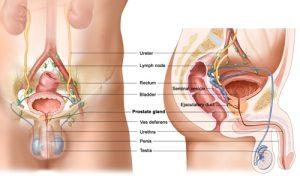 Querschnittsgraphik der Prostata - apotheken-wissen.de