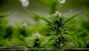Cannabispflanze, zur Pflanzengattung Hanf gehörig