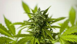 Medizinisches Cannabis als Arzneimttel